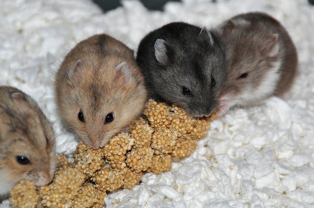 russian hamsters.jpg