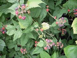 raspberries 3.jpg