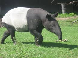 bowmanville zoo tapir.jpg
