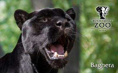 bowmanville zoo jaguar.jpg