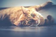cat lying down pic