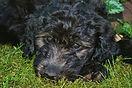 cute black pupper pic