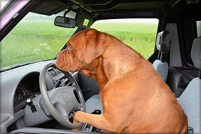 cute big brown doggo driving a car