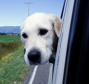 adorable white/yellow lab doggo riding in car catching some breeze