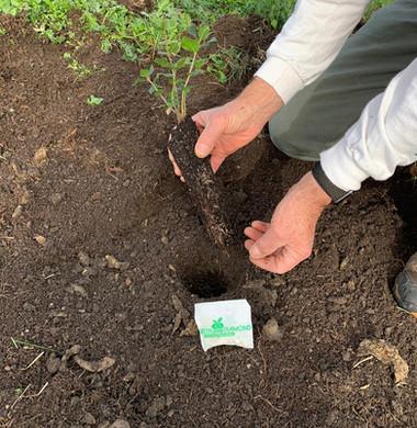 New Oak Tree Planting with Green Diamond Landscape PRO Paks