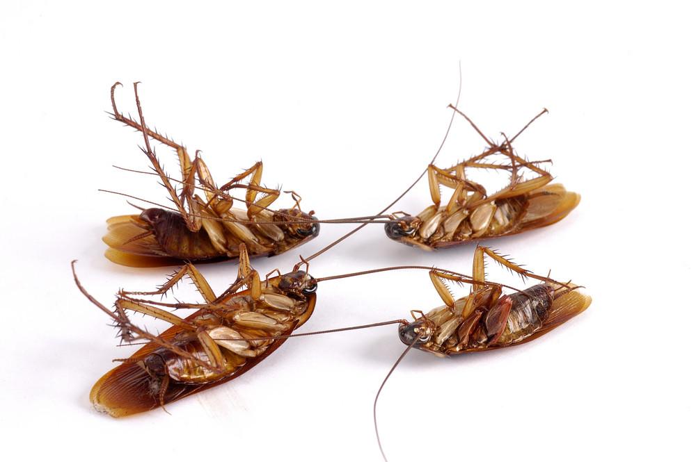 DIY cockroach Pest control