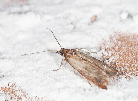 Pantry Moths - What Should You Do