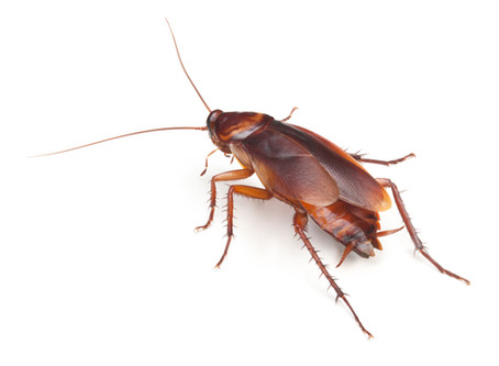 Why Cockroaches are Considered a Pest