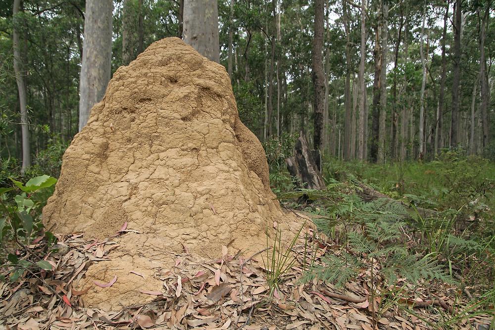 active termite nest
