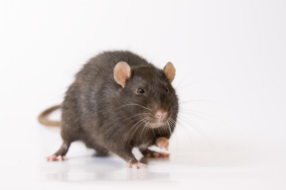 DIY rodent pest control