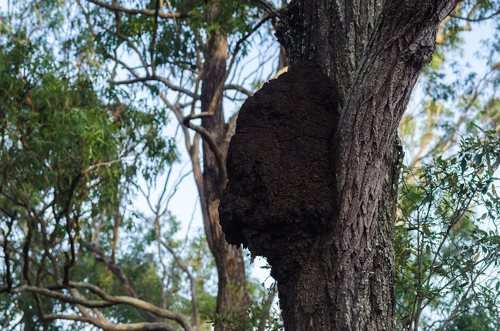 Active termite nest in tree