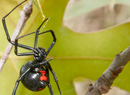 Beware: Dangerous Spiders on the Rise
