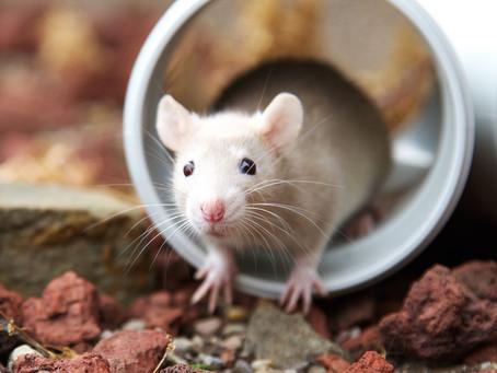 Rodents keeping you up at night?