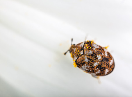 Carpet Case Moth and Carpet Beetle
