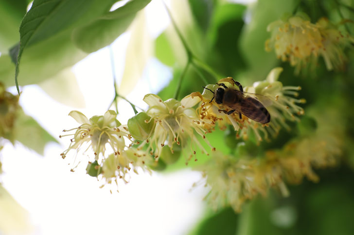 Bee on branch of linden tree with fresh young green leaves and blossom outdoors, closeup.