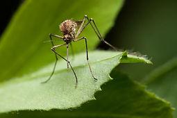 mosquito-9406441.jpg