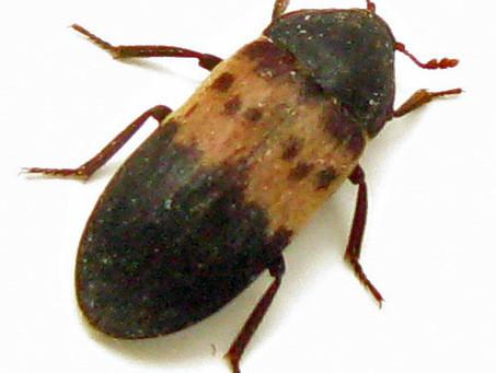 Bed Bugs or Larder Beetles?