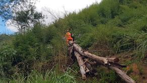 Durante corte de eucalipto, árvore cai e mata trabalhador
