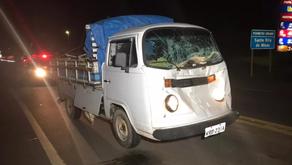 Vaca solta em rodovia provoca acidente com caminhonete