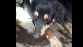 Cachorro é vitima de maus tratos em Santo Amaro de Minas