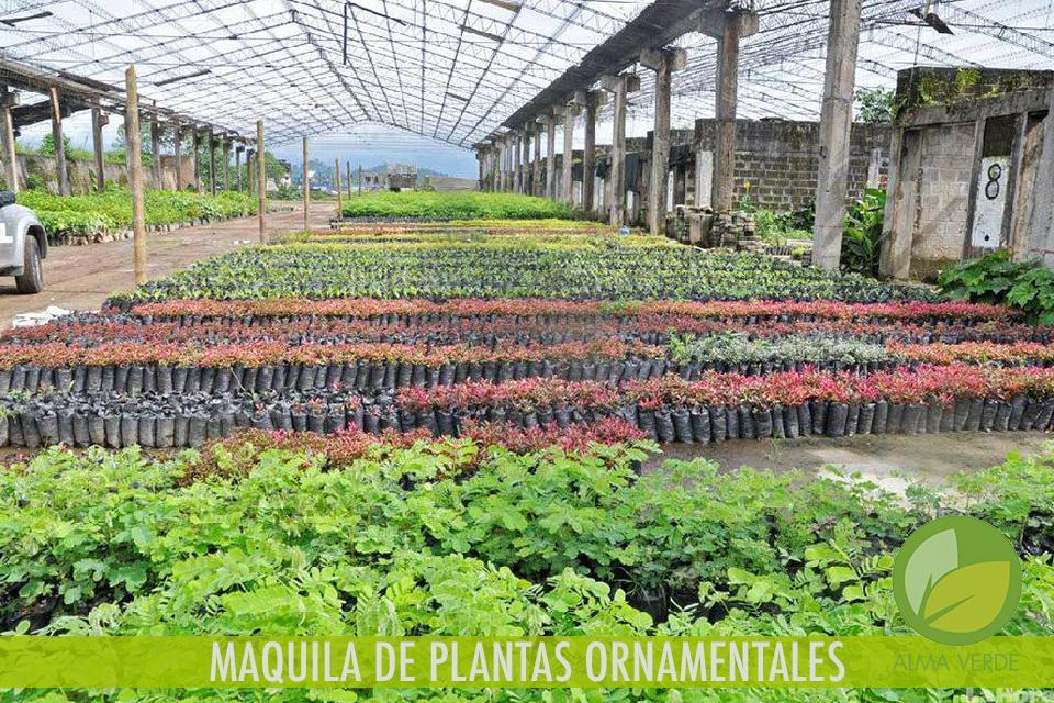 MAQUILA DE PLANTAS ORNAMENTALES