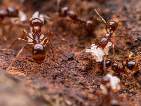 Aphaenogaster occidentalis