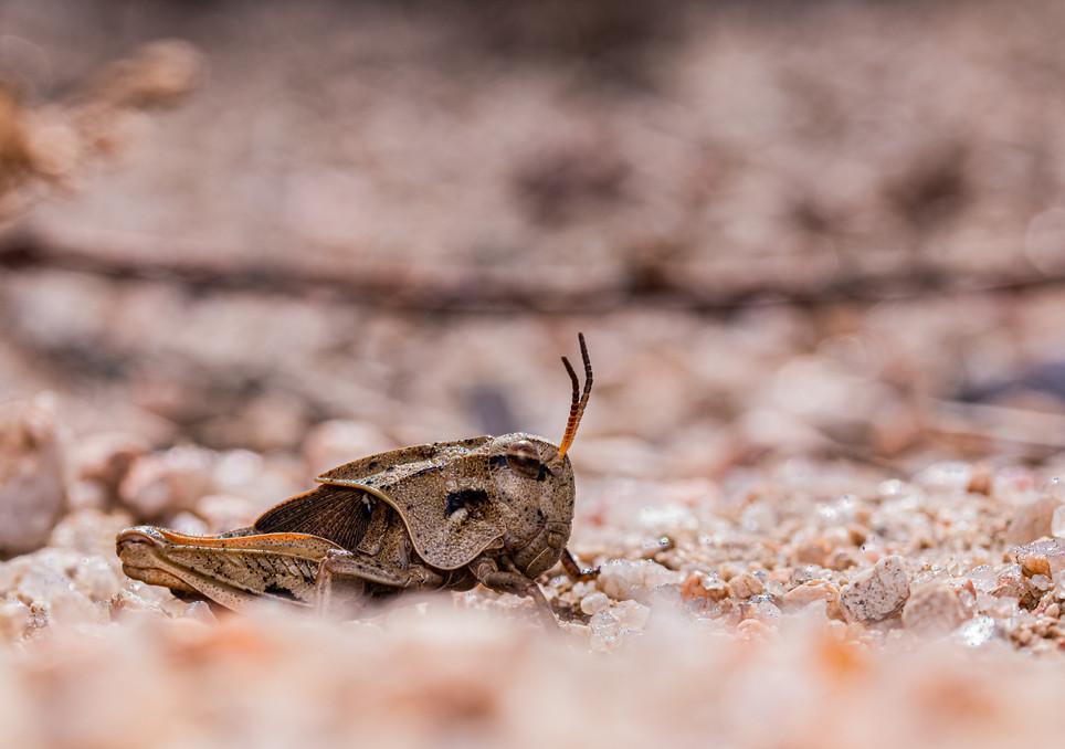 Grasshopper Juvinile