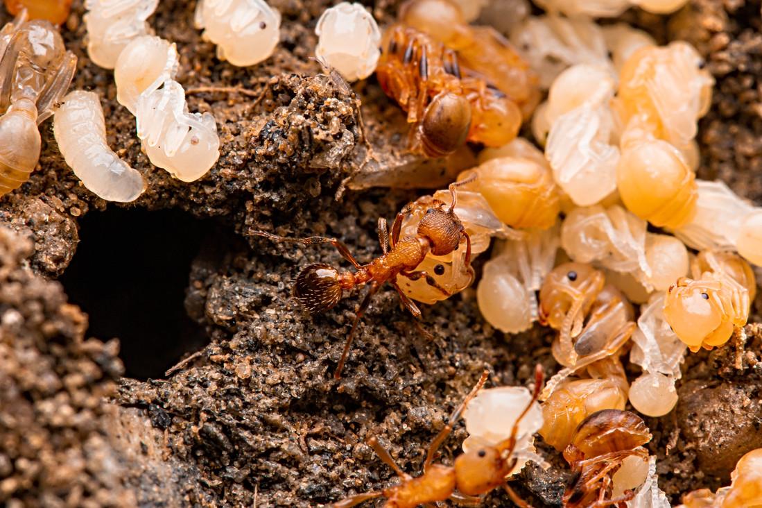 Myrmica nest