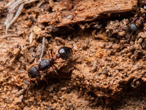 Myrmica latifrons
