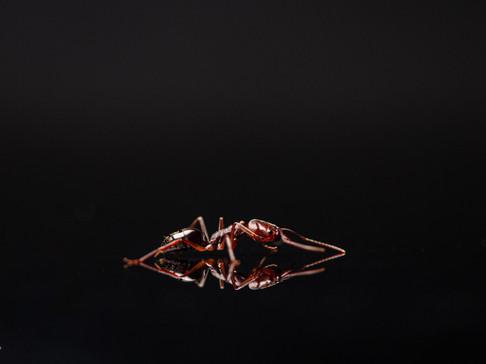 Odontomachus ruginodis