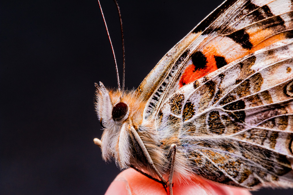 Butterfly Collected
