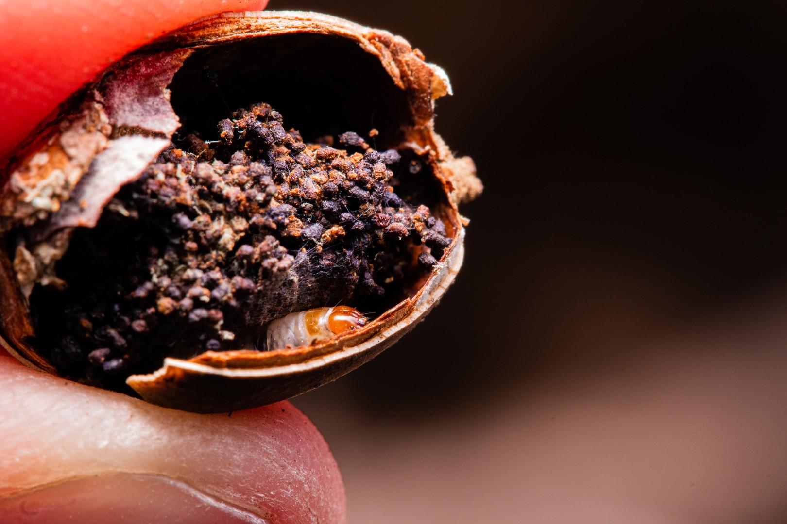 Acorn Worm Nest