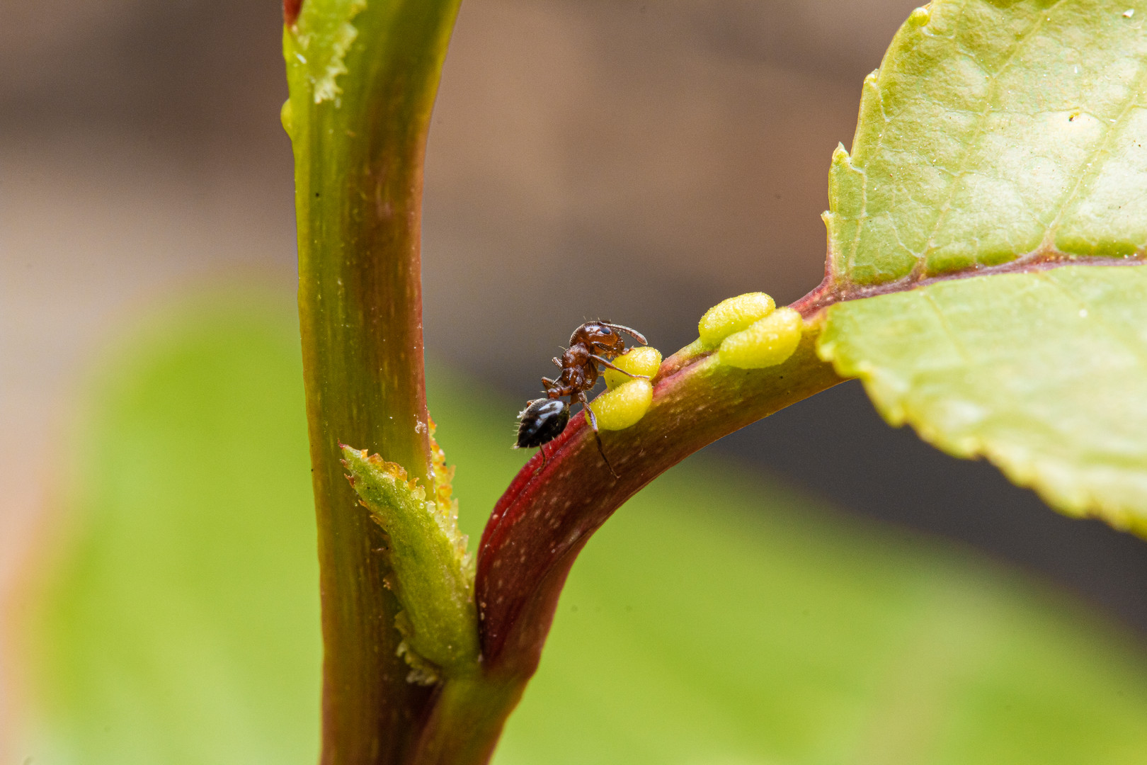 Ants and their livestock