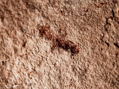 Elaomyrmex cf. grascilis