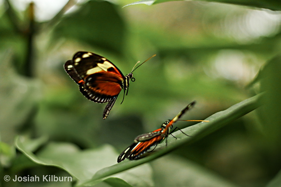 A male Heliconius cf. ismenius butterfly attempts to court a female butterfly.  Taken on Canon EOS 70D, using a 50mm macro lense.
