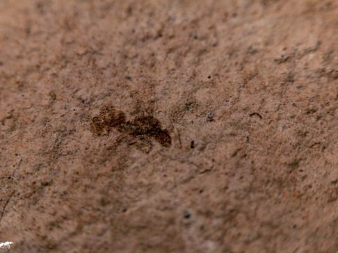 Irridomyrmex cf. florrisantus