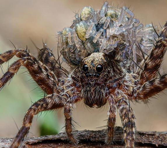 Mother Wolf Spider