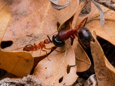 Formica dolosa and Camponotus vicinus
