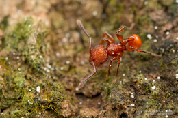 Pristomyrmex sp.