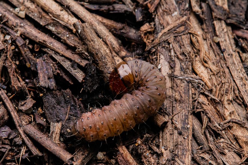 Caterpillar Under Rock