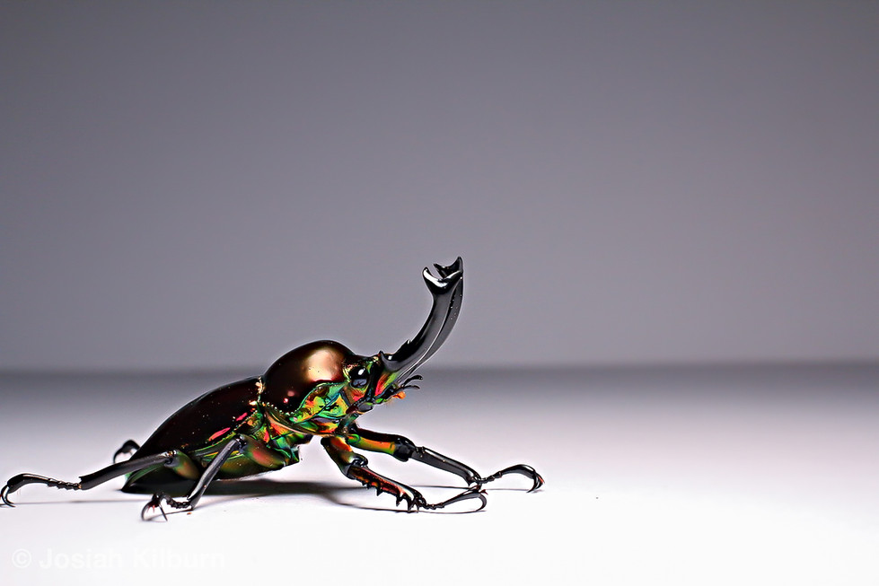 A rainbow stag beetle (P. muleri). This is a red male variant. Taken on Canon EOS 70D, using a 50mm macro lense.