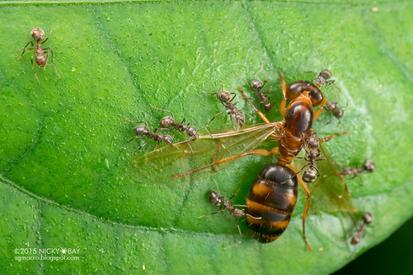 Dolichoderus thoracius