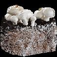 arboreal-myceliun.png