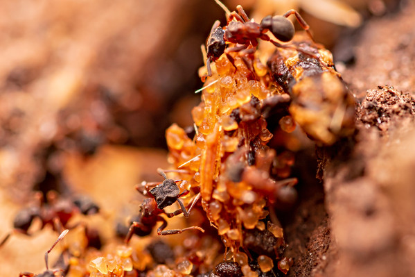 Cyphomyrmex rimosus