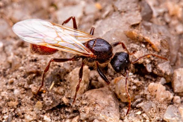 Pogonomyrmex occidentalis