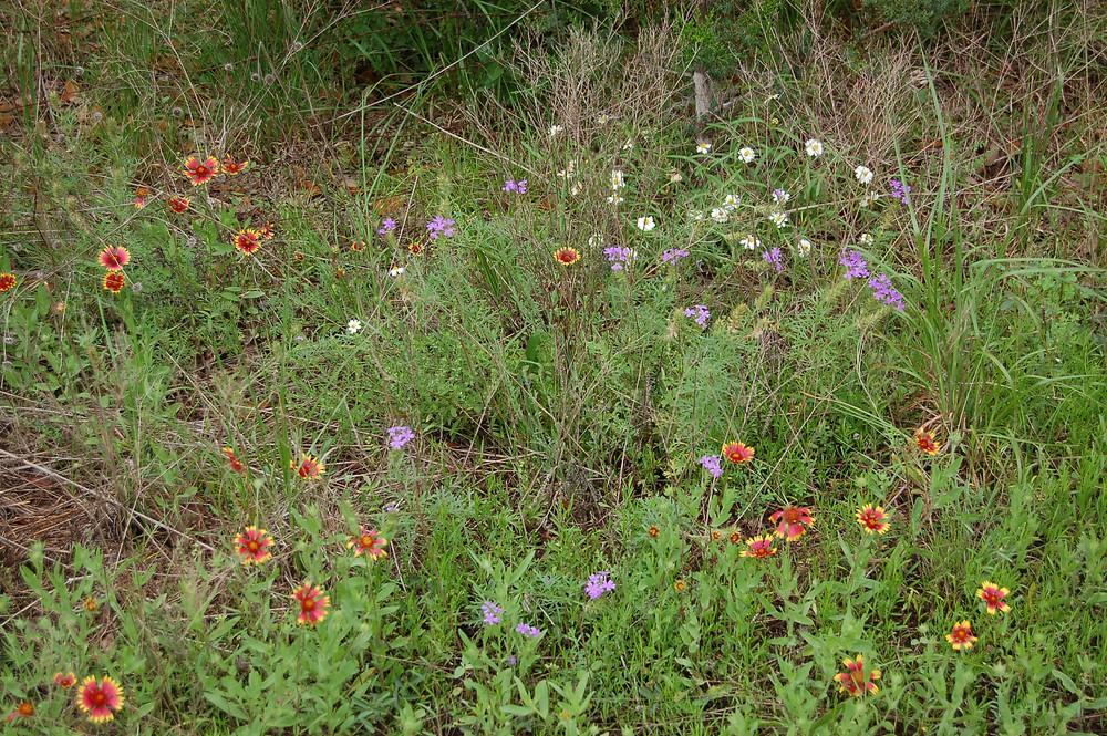wildflowers, great oaks farm, texas hill country, farm blog