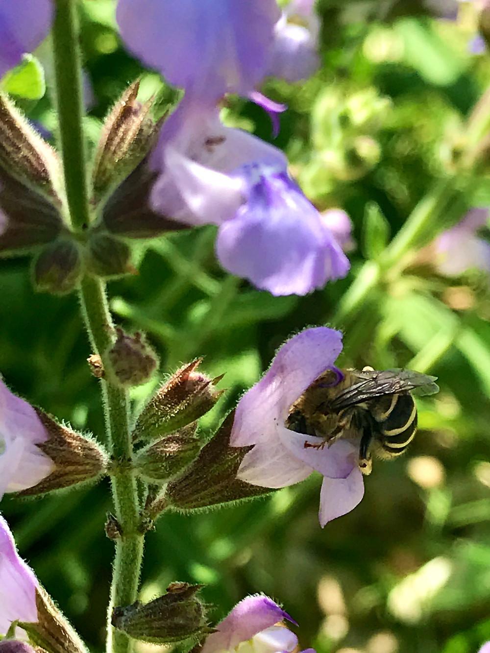 bees, herb garden, gardening, leander tx, great oaks farm