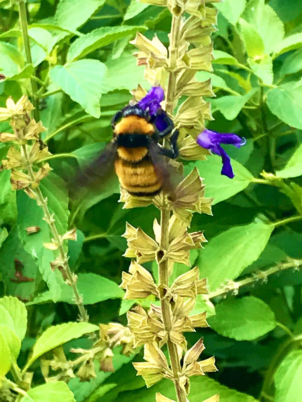 bumblebee, great oaks farm, leander tx, gardening, texas garden, pollinator