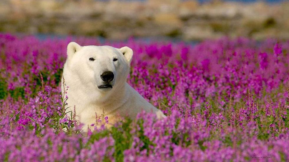 CANADÁ,  Wildwatching en el Ártico (aves, osos, y belugas)