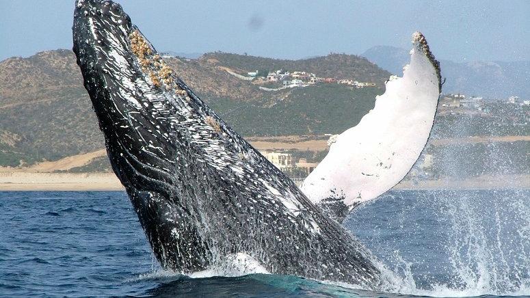 MÉXICO, Ballenas en la Baja California Sur